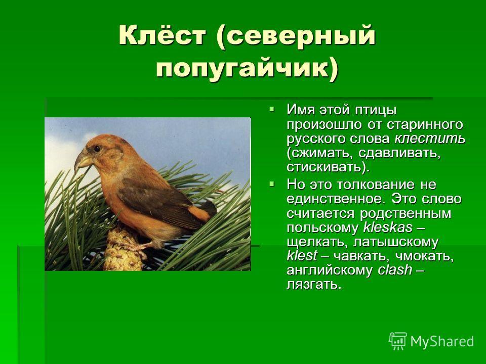 Клёст (северный попугайчик) Имя этой птицы произошло от старинного русского слова клестить (сжимать, сдавливать, стискивать). Имя этой птицы произошло от старинного русского слова клестить (сжимать, сдавливать, стискивать). Но это толкование не единс