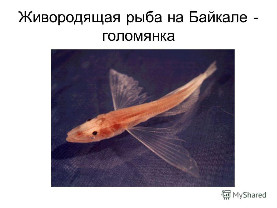 Живородящая рыба на Байкале - голомянка