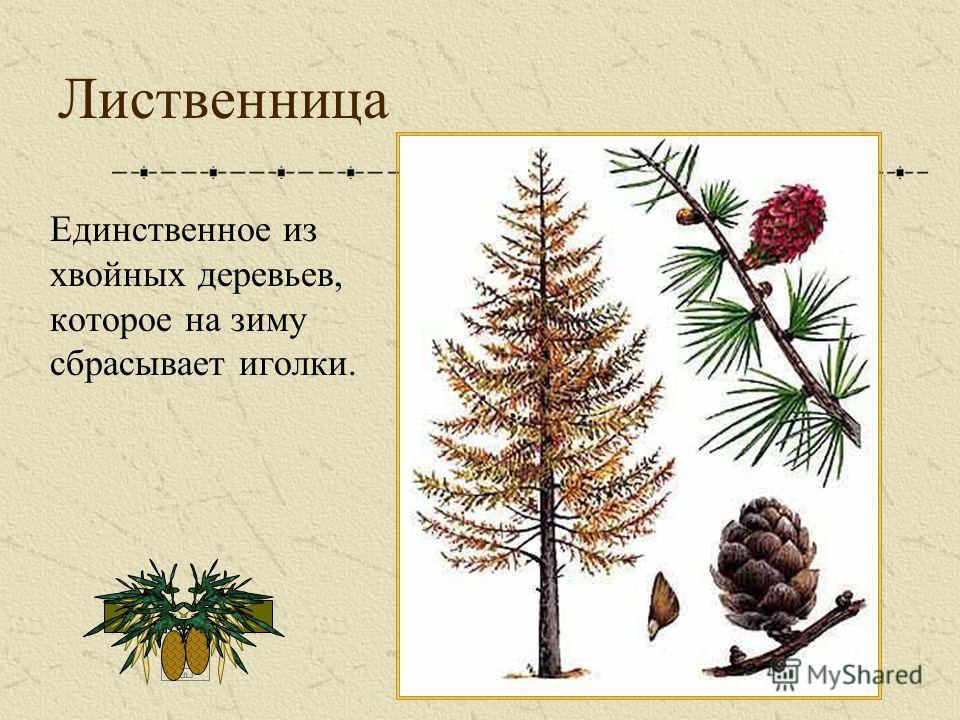 Лиственница Единственное из хвойных деревьев, которое на зиму сбрасывает иголки.