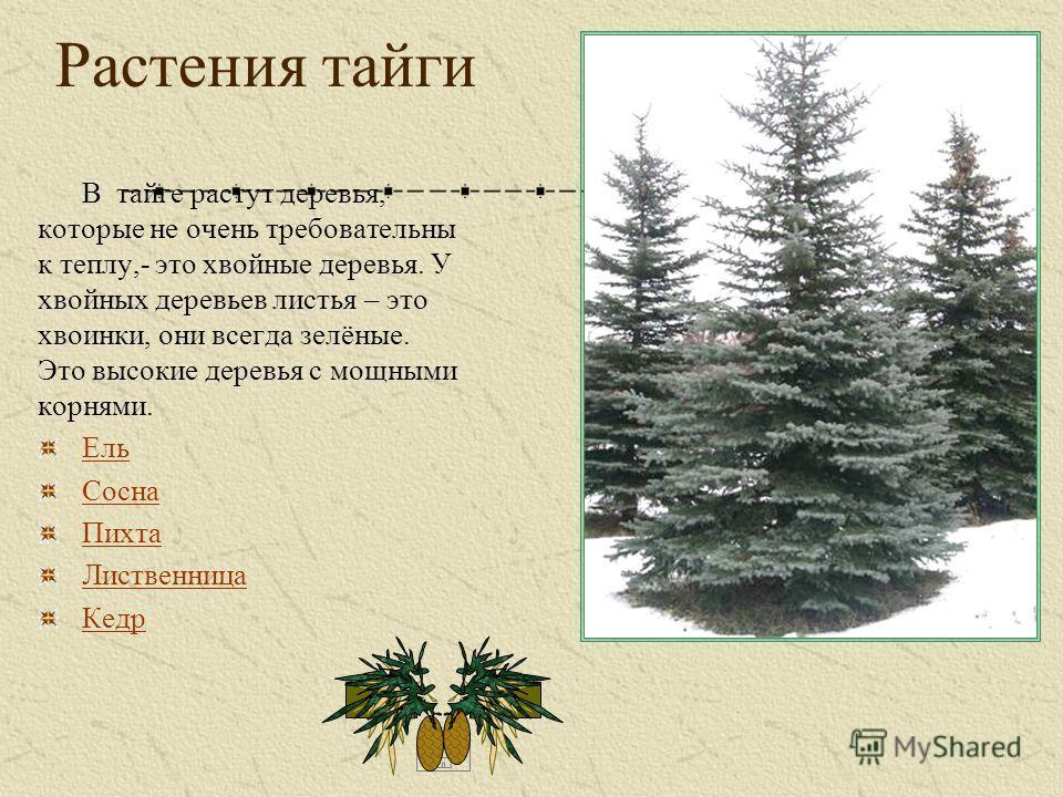 Растения тайги В тайге растут деревья, которые не очень требовательны к теплу,- это хвойные деревья. У хвойных деревьев листья – это хвоинки, они всегда зелёные. Это высокие деревья с мощными корнями. Ель Сосна Пихта Лиственница Кедр