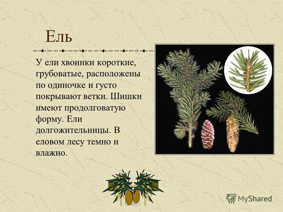 Ель У ели хвоинки короткие, грубоватые, расположены по одиночке и густо покрывают ветки. Шишки имеют продолговатую форму. Ели долгожительницы. В еловом лесу темно и влажно.