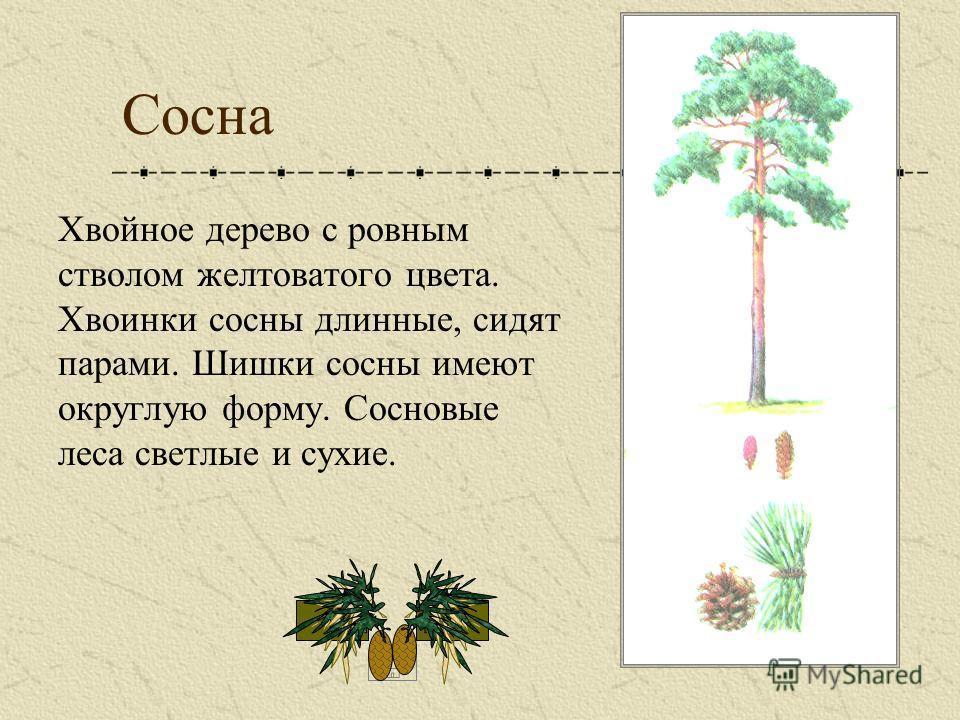 Сосна Хвойное дерево с ровным стволом желтоватого цвета. Хвоинки сосны длинные, сидят парами. Шишки сосны имеют округлую форму. Сосновые леса светлые и сухие.