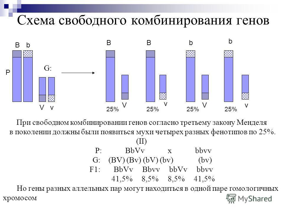 Схема свободного комбинирования генов Р Bb Vv BBb b VV v v При свободном комбинировании генов согласно третьему закону Менделя в поколении должны были появиться мухи четырех разных фенотипов по 25%. (II) P: BbVv x bbvv G: (BV) (Bv) (bV) (bv) (bv) F1: