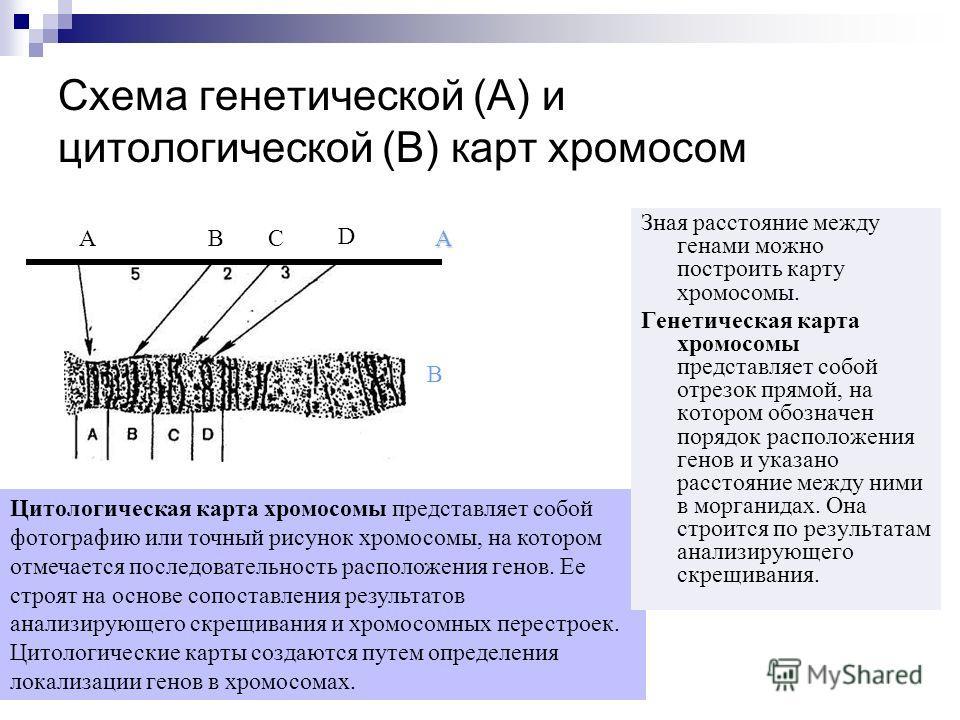 Цитологическая карта хромосомы представляет собой фотографию или точный рисунок хромосомы, на котором отмечается последовательность расположения генов. Ее строят на основе сопоставления результатов анализирующего скрещивания и хромосомных перестроек.
