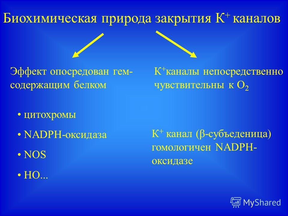 Биохимическая природа закрытия К + каналов К + каналы непосредственно чувствительны к О 2 Эффект опосредован гем- содержащим белком цитохромы NADPH-оксидаза NOS HO... К + канал (β-субъеденица) гомологичен NADPH- оксидазе
