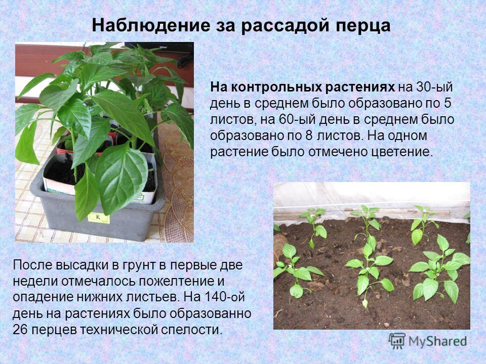 Наблюдение за рассадой перца На контрольных растениях на 30-ый день в среднем было образовано по 5 листов, на 60-ый день в среднем было образовано по 8 листов. На одном растение было отмечено цветение. После высадки в грунт в первые две недели отмеча