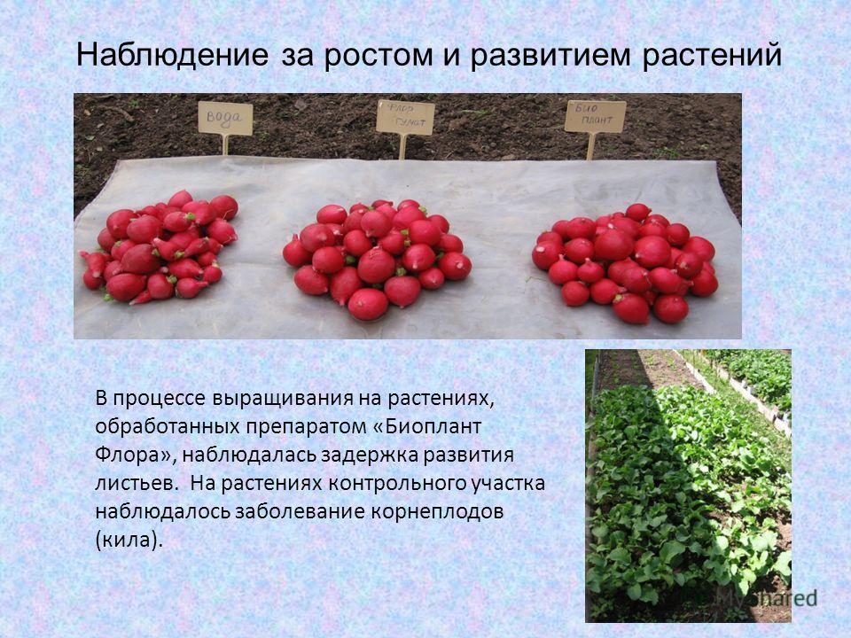 Наблюдение за ростом и развитием растений В процессе выращивания на растениях, обработанных препаратом «Биоплант Флора», наблюдалась задержка развития листьев. На растениях контрольного участка наблюдалось заболевание корнеплодов (кила).
