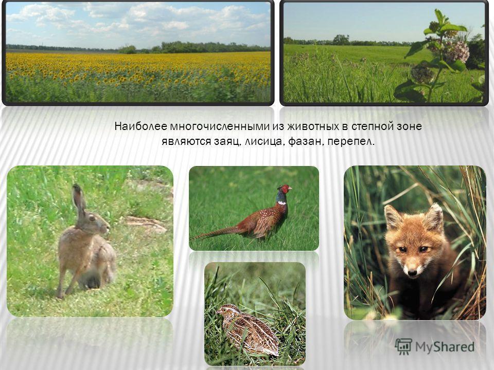 Наиболее многочисленными из животных в степной зоне являются заяц, лисица, фазан, перепел.