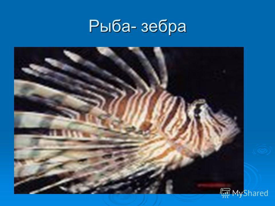 Рыба- зебра
