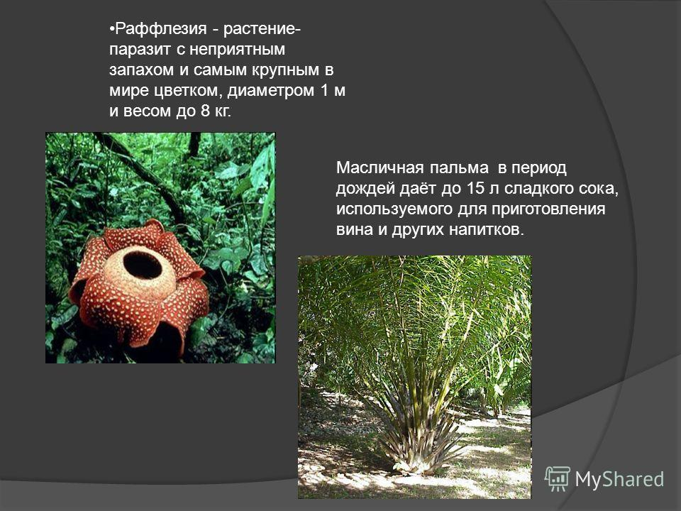 Раффлезия - растение- паразит с неприятным запахом и самым крупным в мире цветком, диаметром 1 м и весом до 8 кг. Масличная пальма в период дождей даёт до 15 л сладкого сока, используемого для приготовления вина и других напитков.