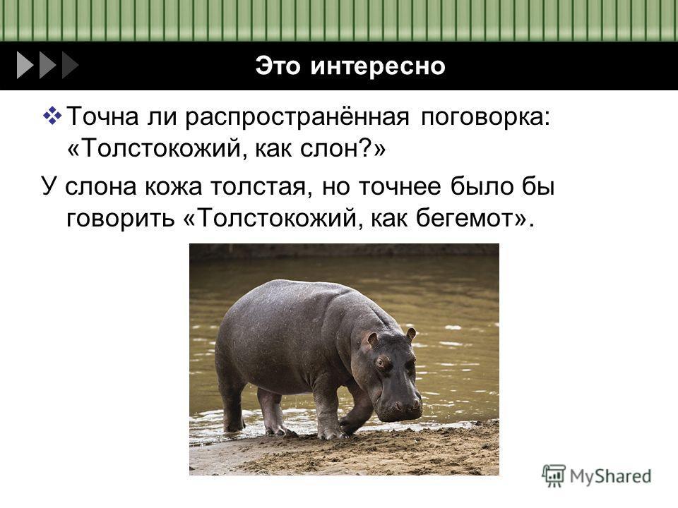 Это интересно Точна ли распространённая поговорка: «Толстокожий, как слон?» У слона кожа толстая, но точнее было бы говорить «Толстокожий, как бегемот».
