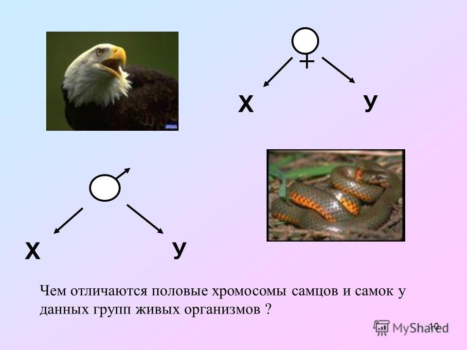10 ХУ ХУ Чем отличаются половые хромосомы самцов и самок у данных групп живых организмов ?