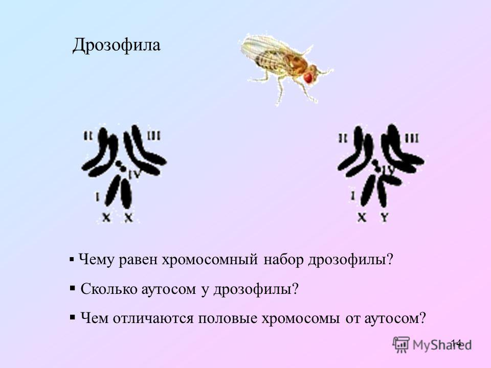 14 Дрозофила Чему равен хромосомный набор дрозофилы? Сколько аутосом у дрозофилы? Чем отличаются половые хромосомы от аутосом?