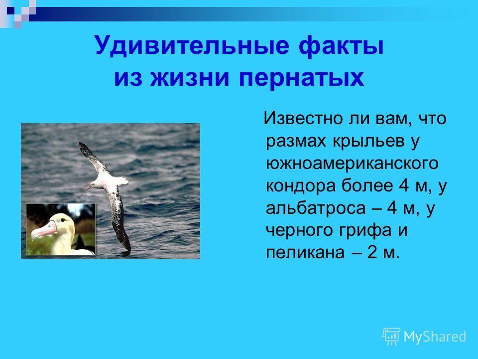 Удивительные факты из жизни пернатых Известно ли вам, что размах крыльев у южноамериканского кондора более 4 м, у альбатроса – 4 м, у черного грифа и пеликана – 2 м.