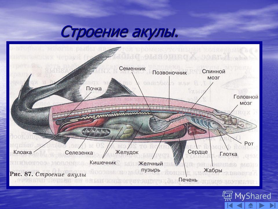Строение акулы. Строение акулы.
