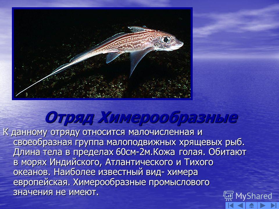 Отряд Химерообразные Отряд Химерообразные К данному отряду относится малочисленная и своеобразная группа малоподвижных хрящевых рыб. Длина тела в пределах 60см-2м.Кожа голая. Обитают в морях Индийского, Атлантического и Тихого океанов. Наиболее извес