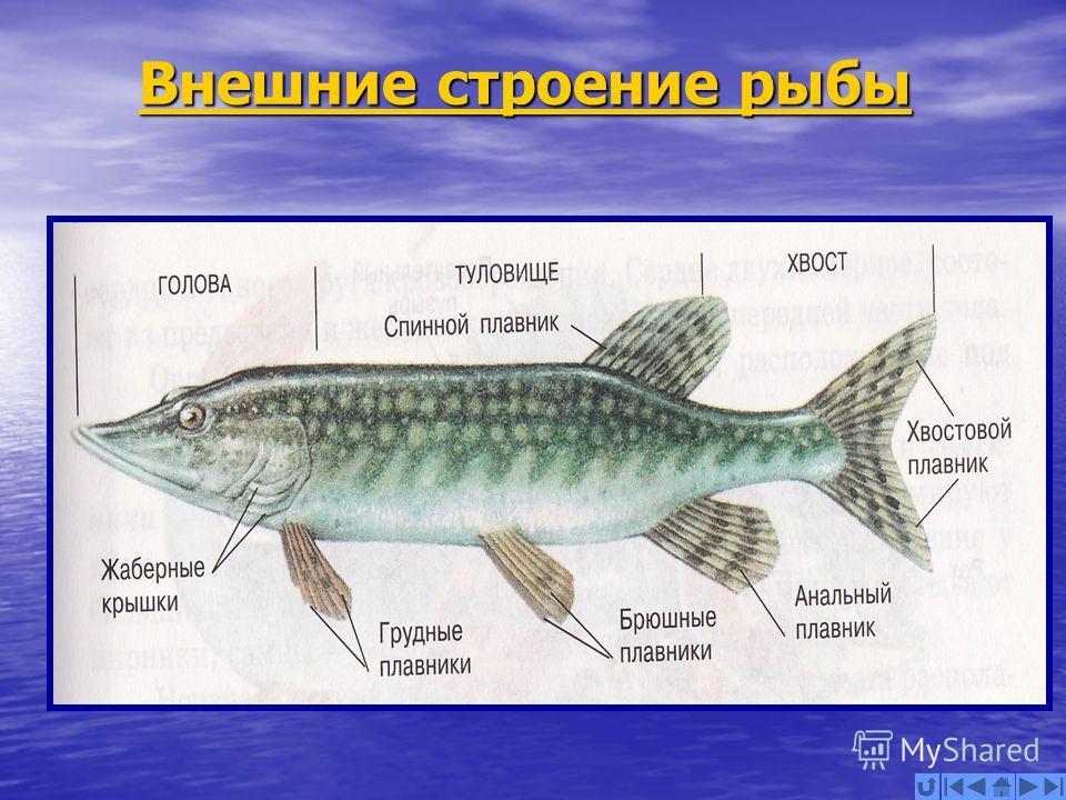 Внешние строение рыбы Внешние