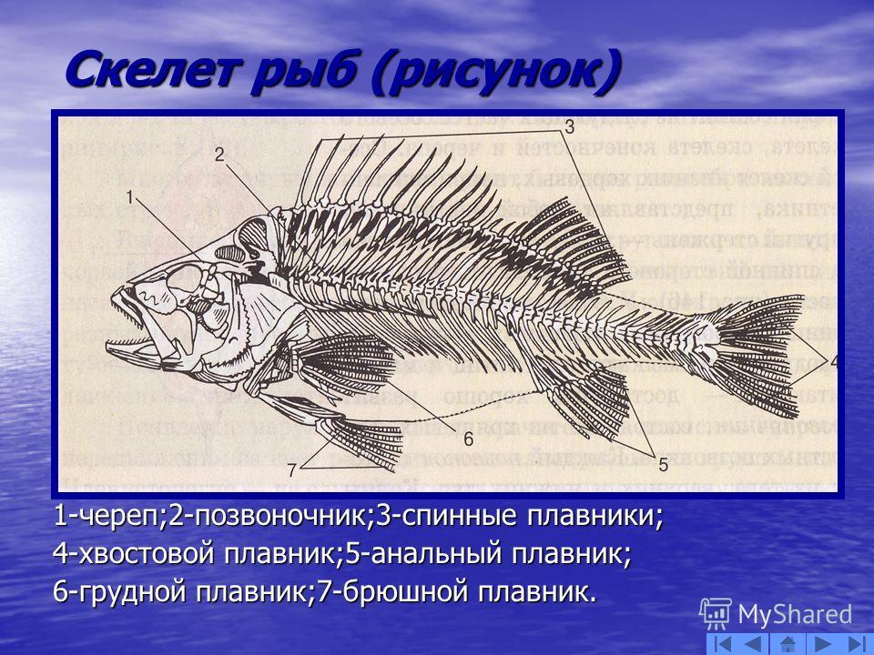 Скелет рыб (рисунок) 1-череп;2-позвоночник;3-спинные плавники; 4-хвостовой плавник;5-анальный плавник; 6-грудной плавник;7-брюшной плавник.