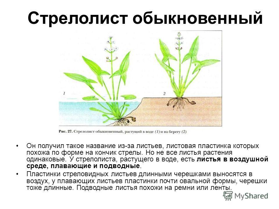 Стрелолист обыкновенный Он получил такое название из-за листьев, листовая пластинка которых похожа по форме на кончик стрелы. Но не все листья растения одинаковые. У стрелолиста, растущего в воде, есть листья в воздушной среде, плавающие и подводные.