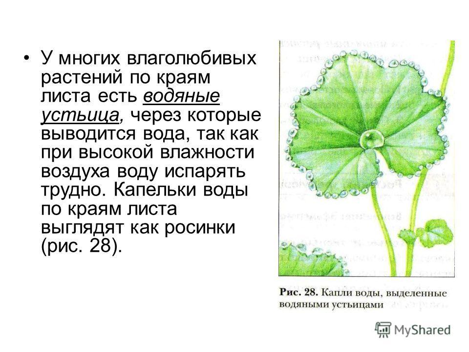 У многих влаголюбивых растений по краям листа есть водяные устьица, через которые выводится вода, так как при высокой влажности воздуха воду испарять трудно. Капельки воды по краям листа выглядят как росинки (рис. 28).