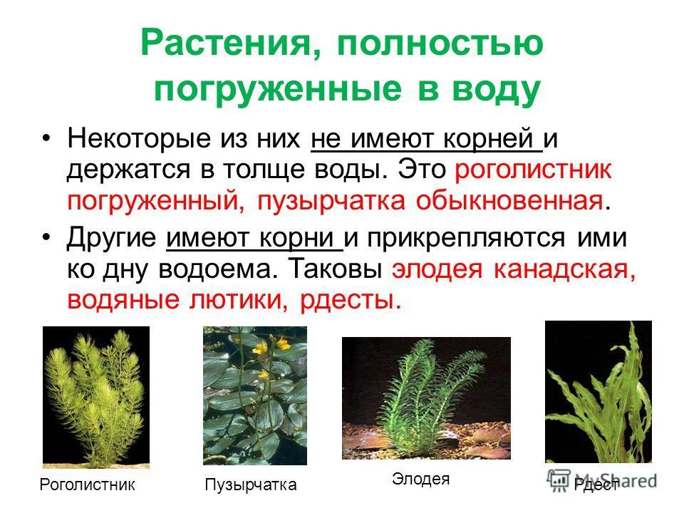Растения, полностью погруженные в воду Некоторые из них не имеют корней и держатся в толще воды. Это роголистник погруженный, пузырчатка обыкновенная. Другие имеют корни и прикрепляются ими ко дну водоема. Таковы элодея канадская, водяные лютики, рде