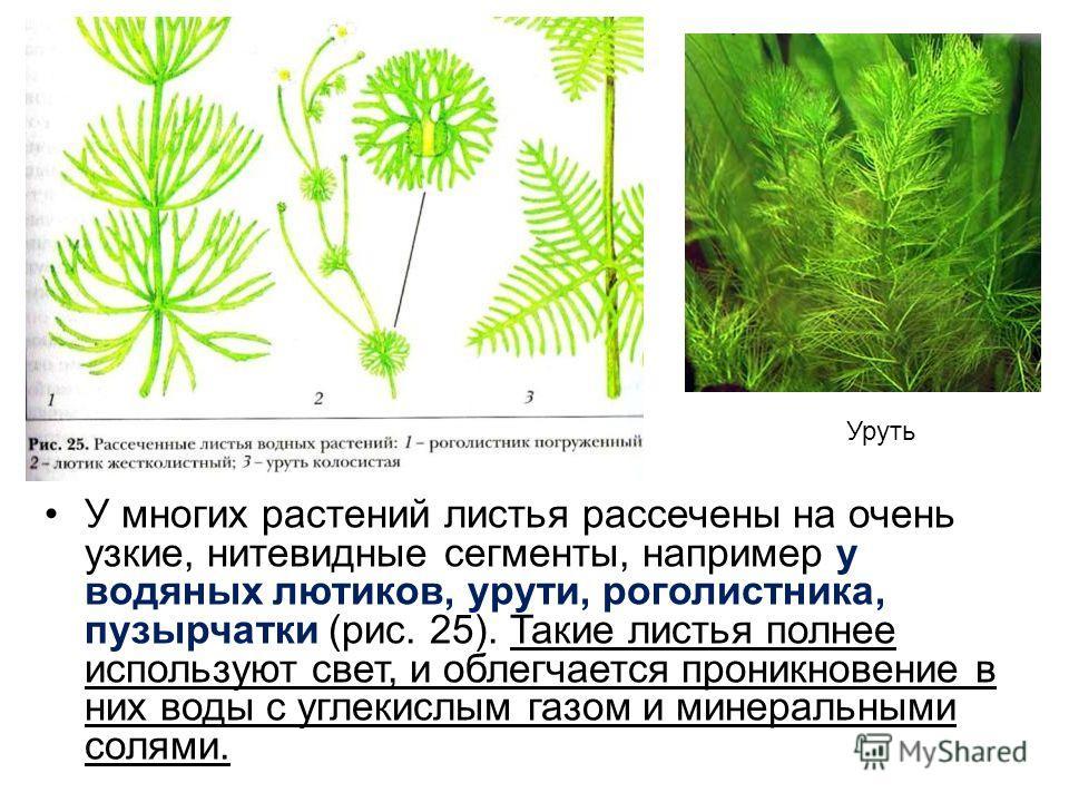 У многих растений листья рассечены на очень узкие, нитевидные сегменты, например у водяных лютиков, урути, роголистника, пузырчатки (рис. 25). Такие листья полнее используют свет, и облегчается проникновение в них воды с углекислым газом и минеральны