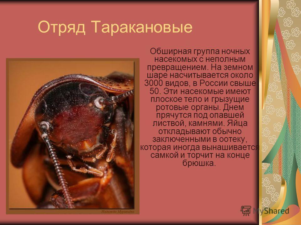 Отряд Таракановые Обширная группа ночных насекомых с неполным превращением. На земном шаре насчитывается около 3000 видов, в России свыше 50. Эти насекомые имеют плоское тело и грызущие ротовые органы. Днем прячутся под опавшей листвой, камнями. Яйца