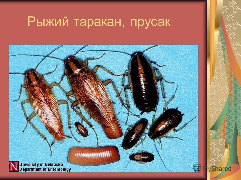 Рыжий таракан, прусак