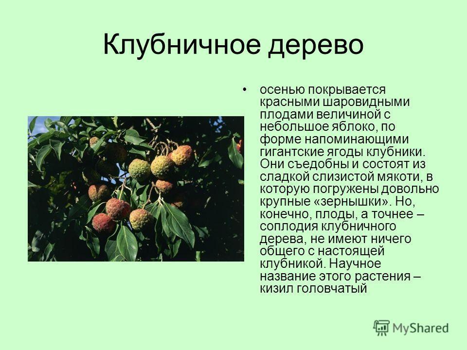 Клубничное дерево осенью покрывается красными шаровидными плодами величиной с небольшое яблоко, по форме напоминающими гигантские ягоды клубники. Они съедобны и состоят из сладкой слизистой мякоти, в которую погружены довольно крупные «зернышки». Но,