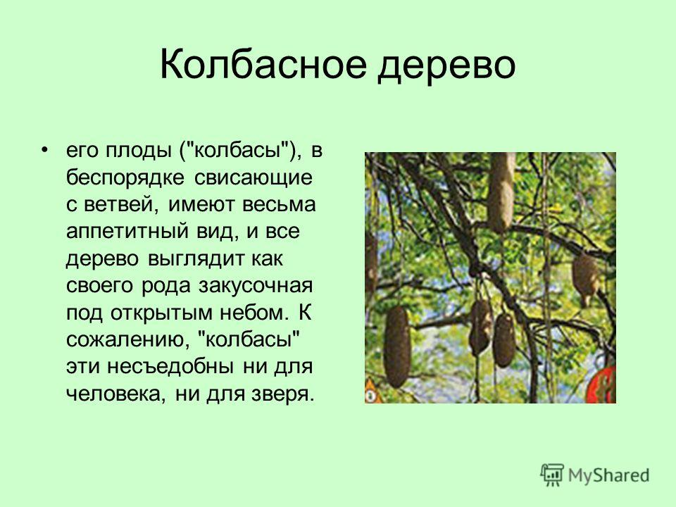 Колбасное дерево его плоды (колбасы), в беспорядке свисающие с ветвей, имеют весьма аппетитный вид, и все дерево выглядит как своего рода закусочная под открытым небом. К сожалению, колбасы эти несъедобны ни для человека, ни для зверя.