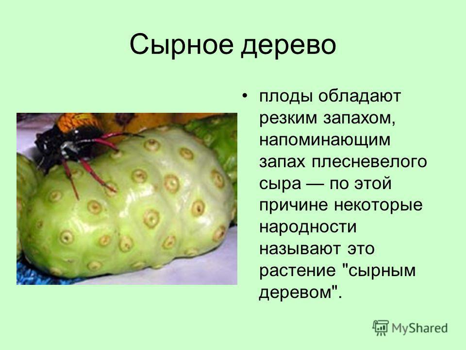 Сырное дерево плоды обладают резким запахом, напоминающим запах плесневелого сыра по этой причине некоторые народности называют это растение сырным деревом.