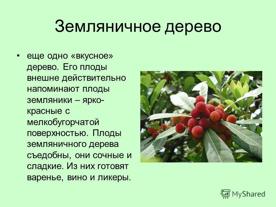 Земляничное дерево еще одно «вкусное» дерево. Его плоды внешне действительно напоминают плоды земляники – ярко- красные с мелкобугорчатой поверхностью. Плоды земляничного дерева съедобны, они сочные и сладкие. Из них готовят варенье, вино и ликеры.