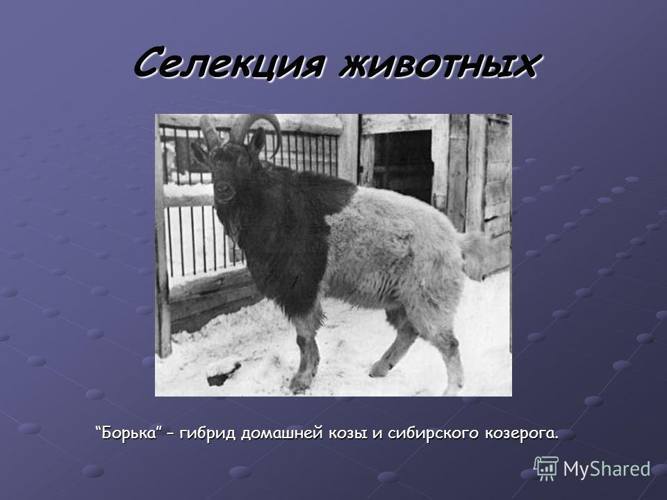 Селекция животных Борька – гибрид домашней козы и сибирского козерога.