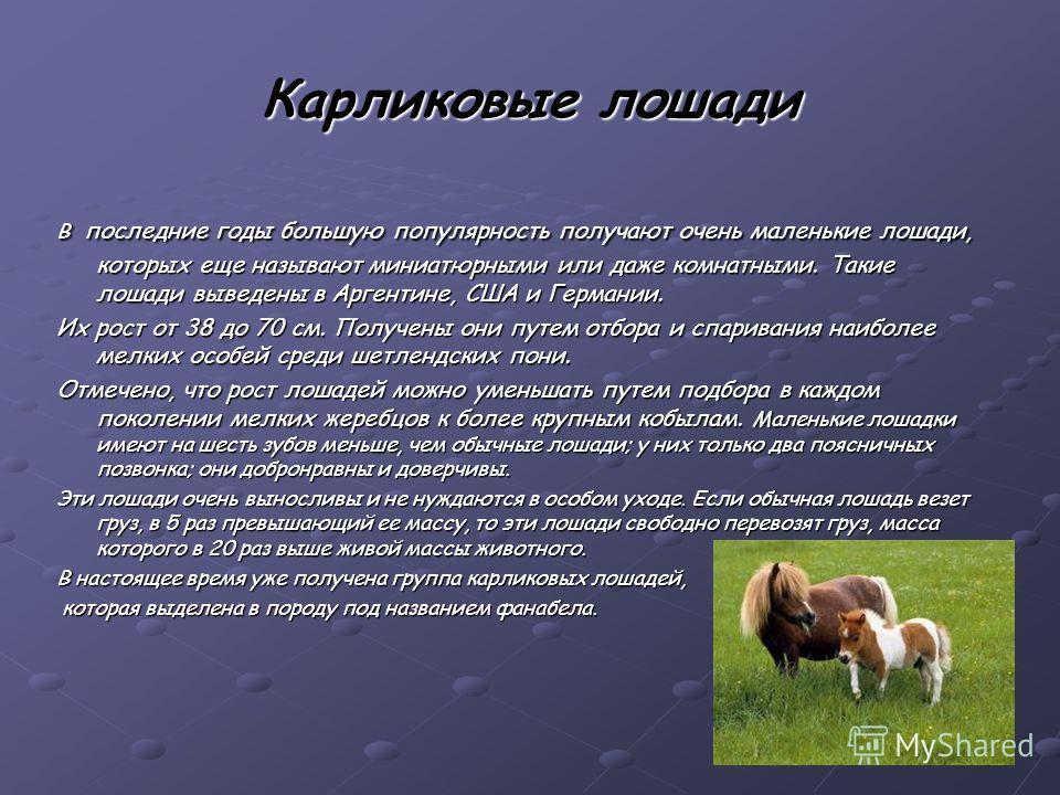 Карликовые лошади В последние годы большую популярность получают очень маленькие лошади, которых еще называют миниатюрными или даже комнатными. Такие лошади выведены в Аргентине, США и Германии. Их рост от 38 до 70 см. Получены они путем отбора и сп