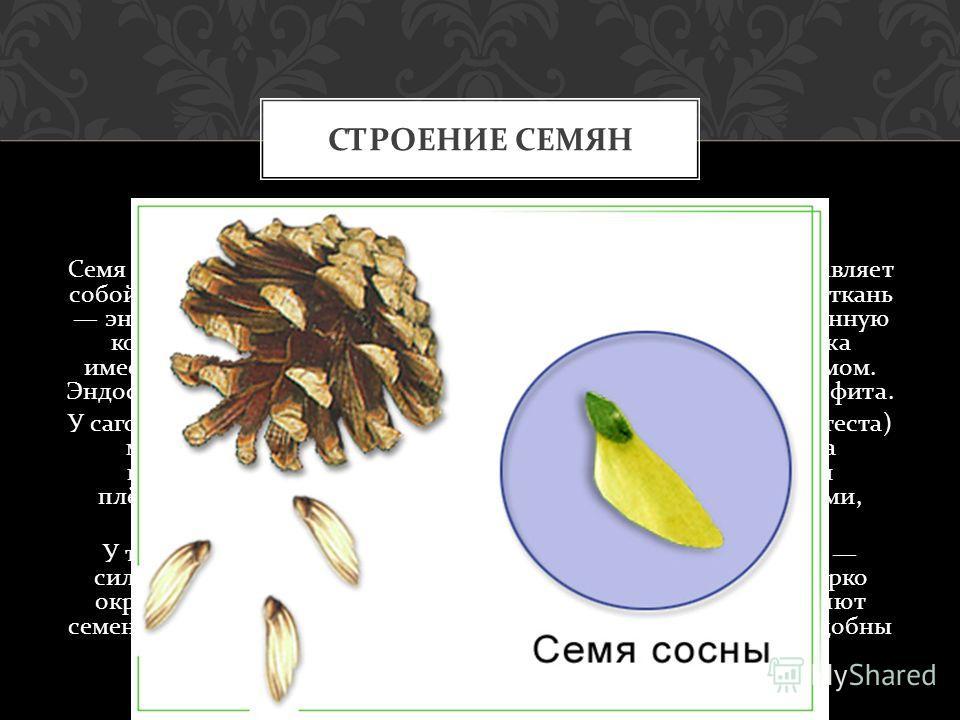 Семя развивается на поверхности семенной чешуи. Оно представляет собой многоклеточную структуру, объединяющую запасающую ткань эндосперм, зародыш и специальный защитный покров ( семенную кожуру ). До оплодотворения в центральной части семязачатка име