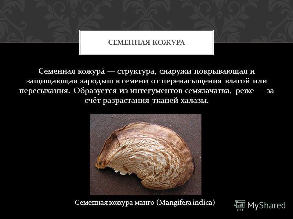 Семенная кожура структура, снаружи покрывающая и защищающая зародыш в семени от перенасыщения влагой или пересыхания. Образуется из интегументов семязачатка, реже за счёт разрастания тканей халазы. СЕМЕННАЯ КОЖУРА Семенная кожура манго (Mangifera ind