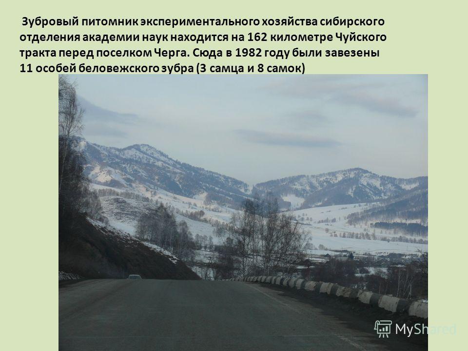 Зубровый питомник экспериментального хозяйства сибирского отделения академии наук находится на 162 километре Чуйского тракта перед поселком Черга. Сюда в 1982 году были завезены 11 особей беловежского зубра (3 самца и 8 самок)