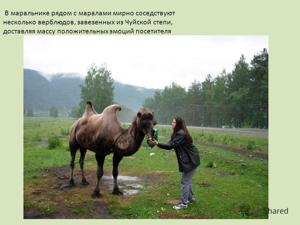 В маральнике рядом с маралами мирно соседствуют несколько верблюдов, завезенных из Чуйской степи, доставляя массу положительных эмоций посетителя
