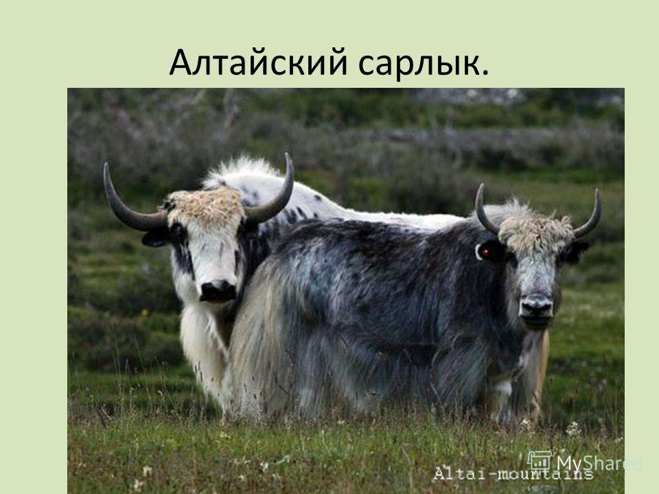 Алтайский сарлык.
