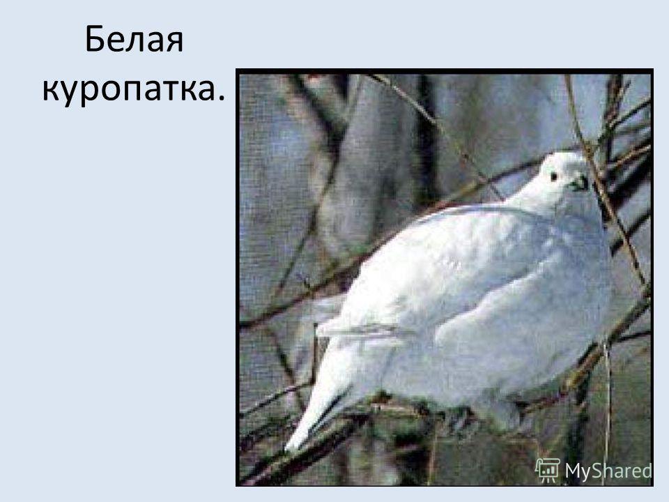 Белая куропатка.
