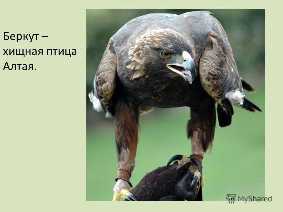 Беркут – хищная птица Алтая.