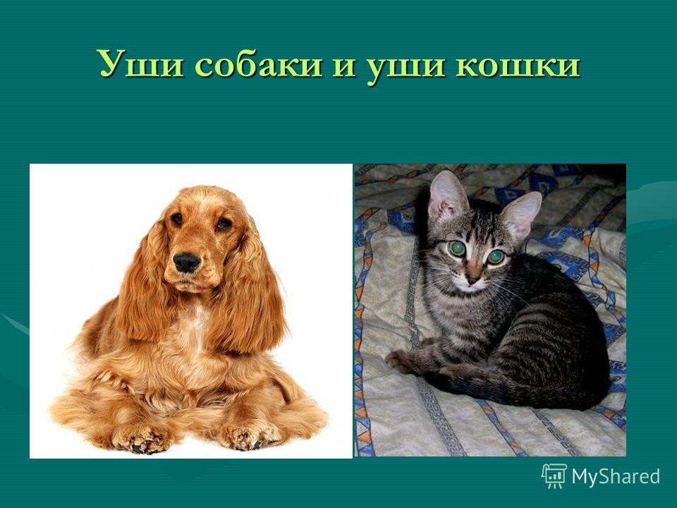 Уши собаки и уши кошки