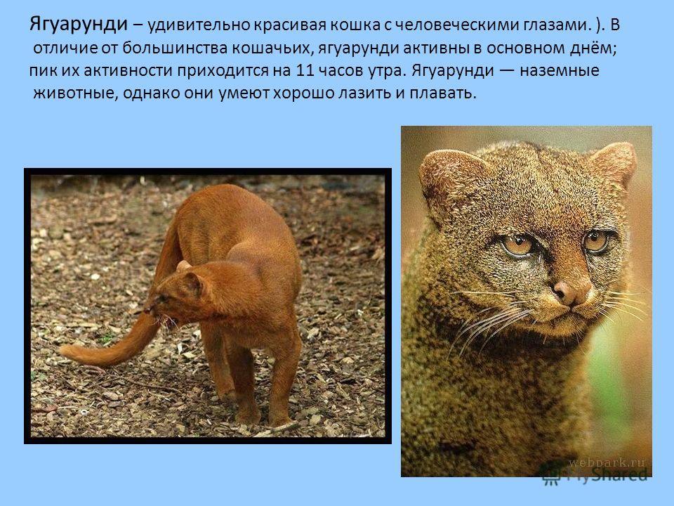 Ягуарунди – удивительно красивая кошка с человеческими глазами. ). В отличие от большинства кошачьих, ягуарунди активны в основном днём; пик их активности приходится на 11 часов утра. Ягуарунди наземные животные, однако они умеют хорошо лазить и плав