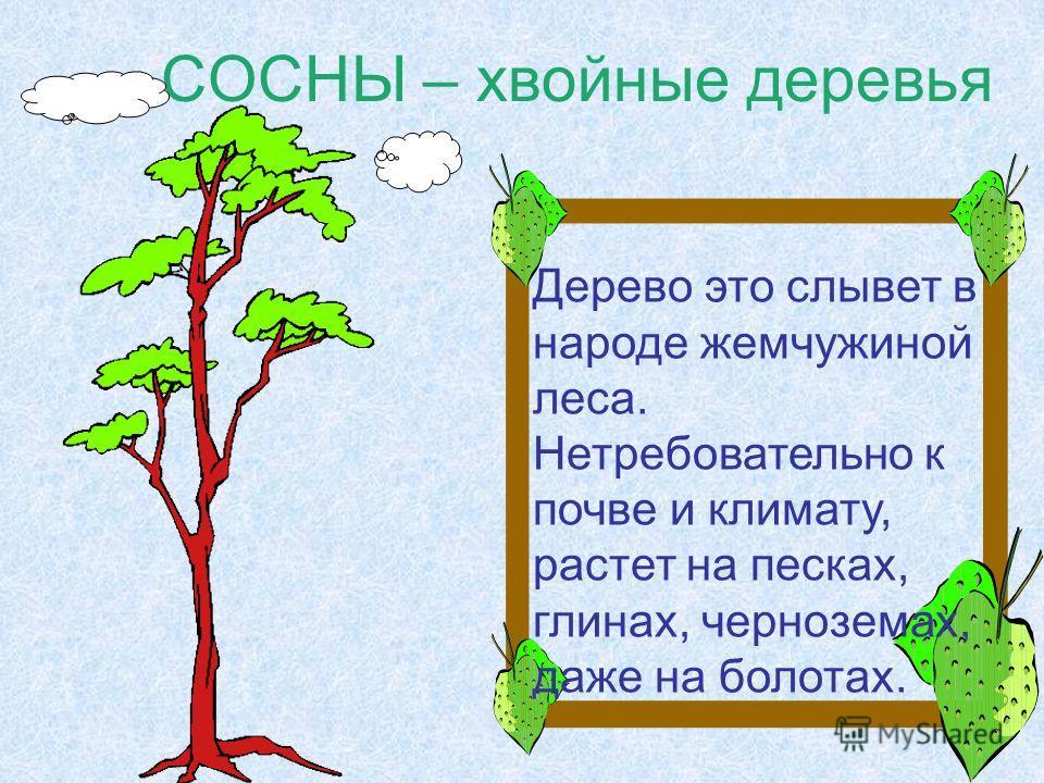 СОСНЫ – хвойные деревья Дерево это слывет в народе жемчужиной леса. Нетребовательно к почве и климату, растет на песках, глинах, черноземах, даже на болотах.
