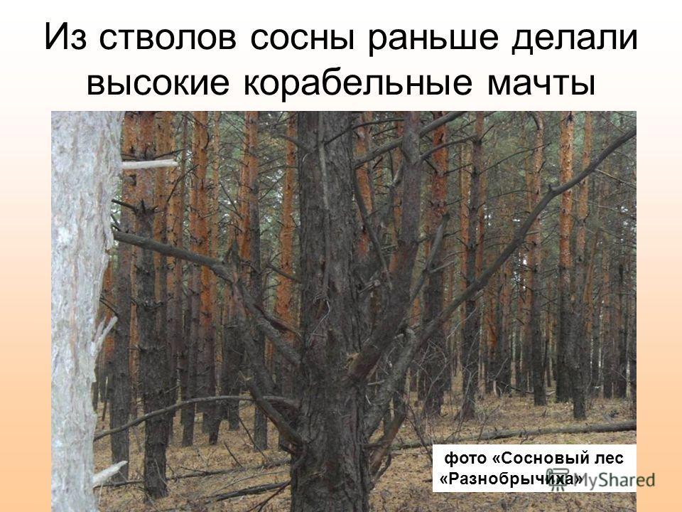 Из стволов сосны раньше делали высокие корабельные мачты фото «Сосновый лес «Разнобрычиха»