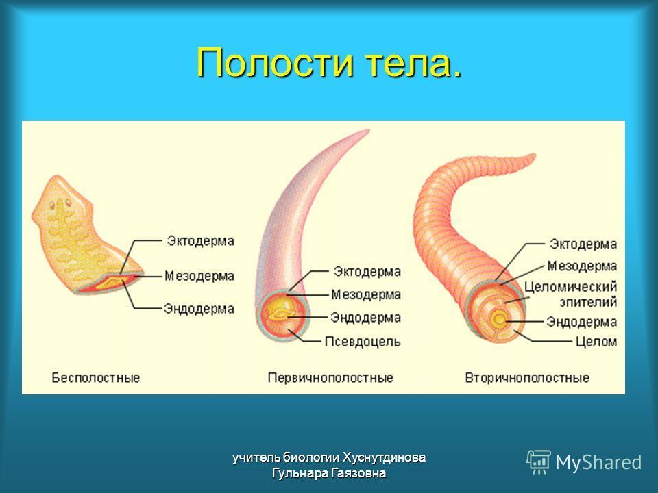 Полости тела. учитель биологии Хуснутдинова Гульнара Гаязовна