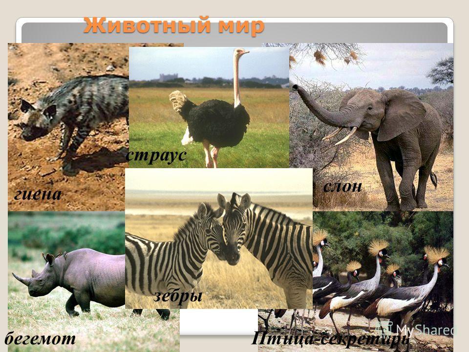 Животный мир гиена страус бегемотПтица-секретарь зебры слон