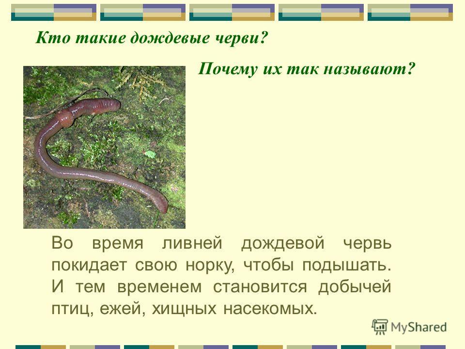 Во время ливней дождевой червь покидает свою норку, чтобы подышать. И тем временем становится добычей птиц, ежей, хищных насекомых. Почему их так называют? Кто такие дождевые черви?