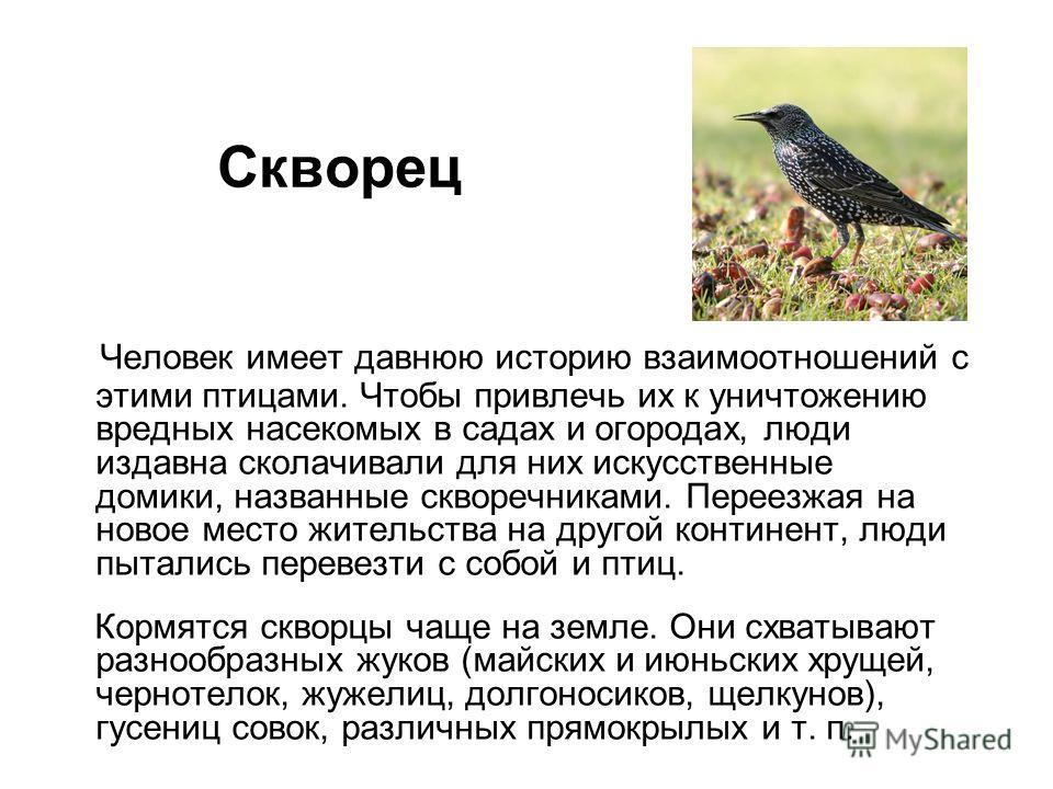Человек имеет давнюю историю взаимоотношений с этими птицами. Чтобы привлечь их к уничтожению вредных насекомых в садах и огородах, люди издавна сколачивали для них искусственные домики, названные скворечниками. Переезжая на новое место жительства на