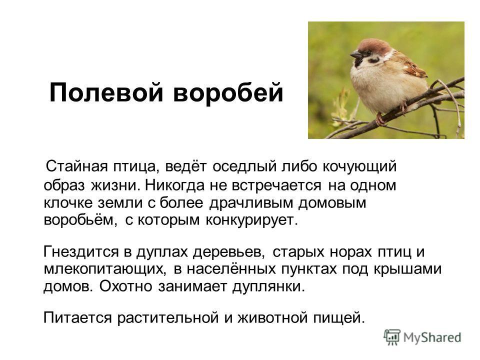 Стайная птица, ведёт оседлый либо кочующий образ жизни. Никогда не встречается на одном клочке земли с более драчливым домовым воробьём, с которым конкурирует. Гнездится в дуплах деревьев, старых норах птиц и млекопитающих, в населённых пунктах под к